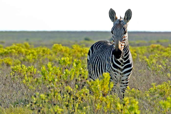 cape-mountain-zebra