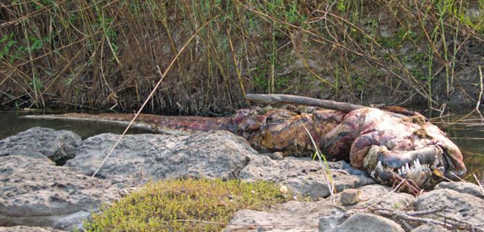 crocodile-poaching-okavango