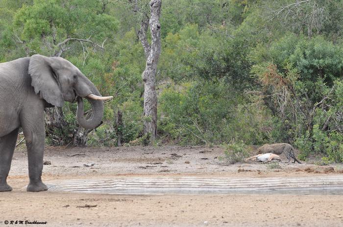 elephant-leopard-kill-impala