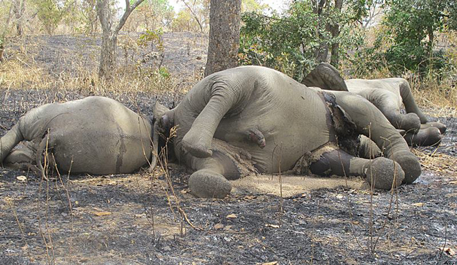 Barbaric elephant slaughter in Angola