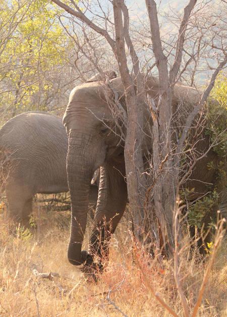 elephant-elephants-gorge-trail-foot