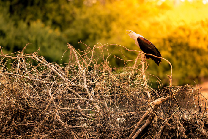 Above is an African fish eagle in mid cry, one of many seen along the river. The lonely songof this wonderful bird is one of the most iconic and representativesounds of Africa.