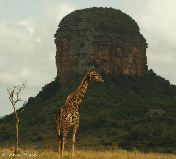 giraffe-big-five-marathon