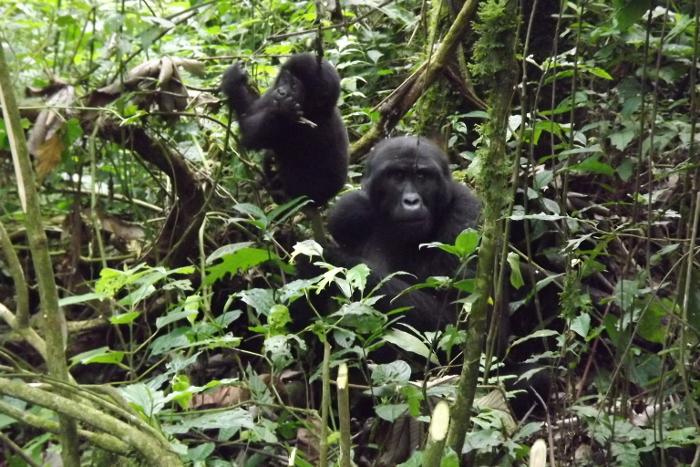 gorilla-uganda-chimpanzee-trek