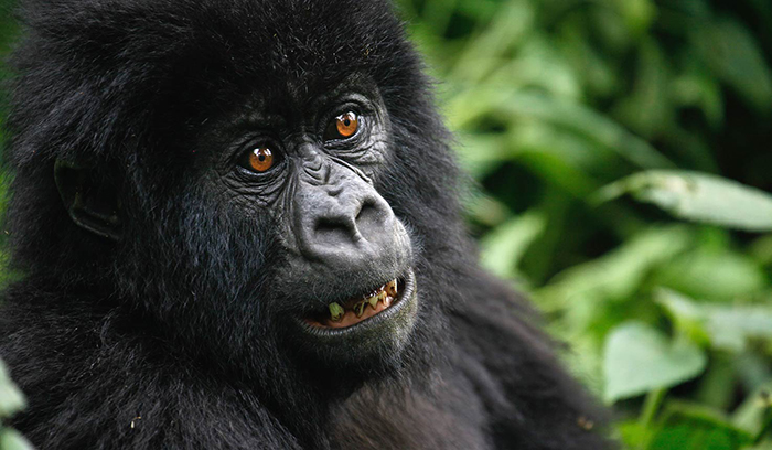gorillas-of-virunga