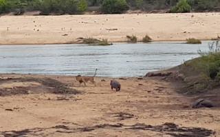 hippo-baby-lion1