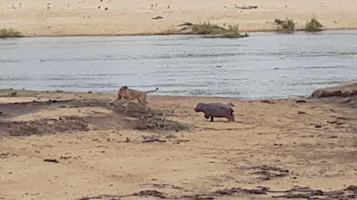 hippo-baby-lion2