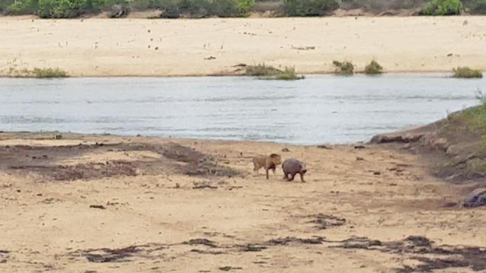 hippo-baby-lion4