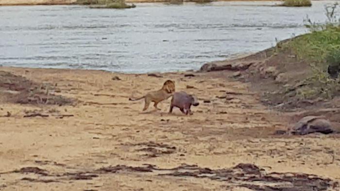 hippo-baby-lion5