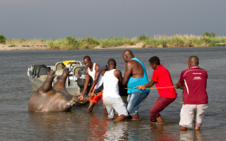 hippo-poaching-okavango