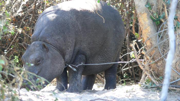 hippo-snared-okavango