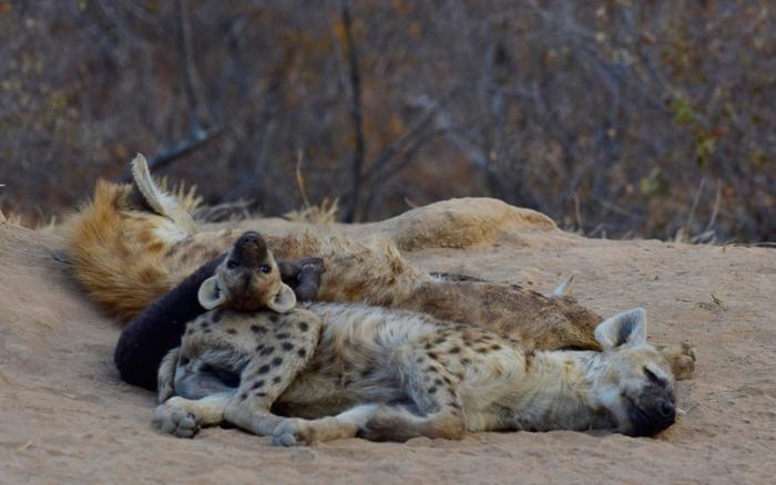 hyena-baby