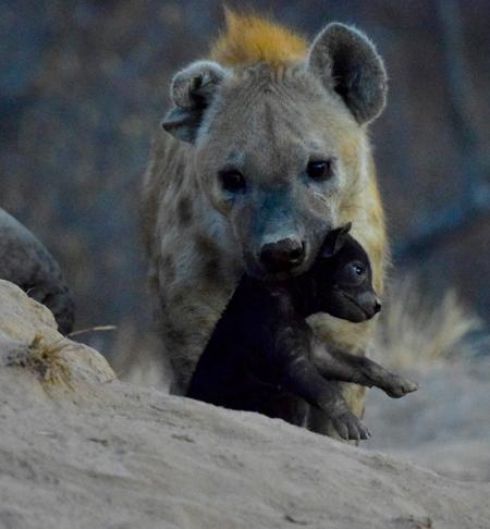 hyena-cub