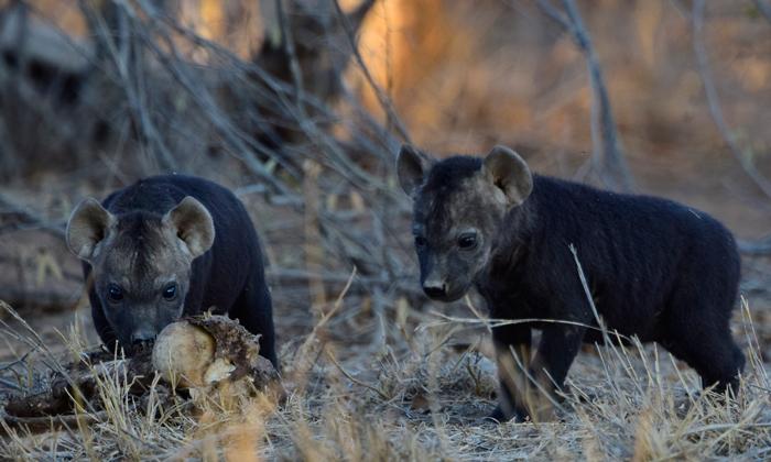 hyena-cubs