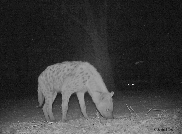 hyena-in-camera-trap