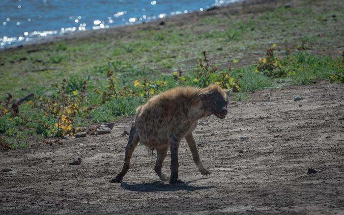 hyena--kruger-national-park