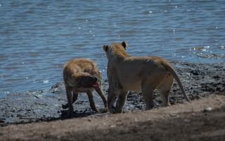 hyena-lioness-standoff