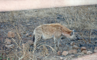 A hyena photographed through the camp fence in Kruger ©Janine Avery
