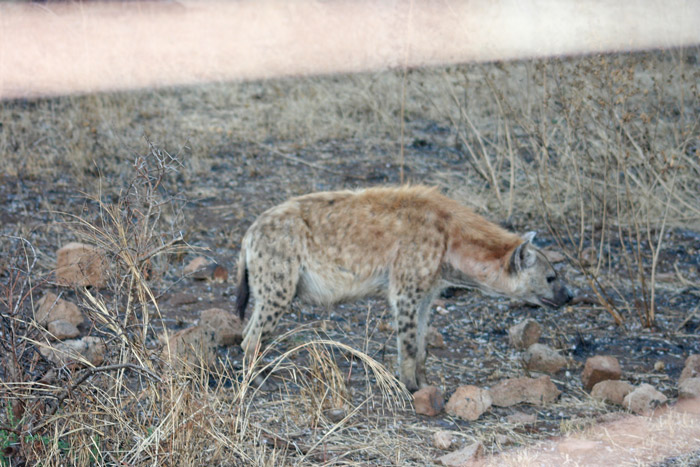 A hyena photographed through the camp fence in Kruger