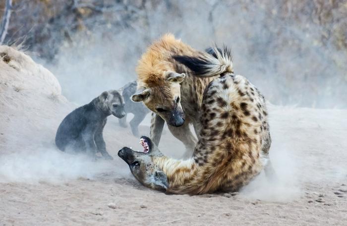 hyenas-playing