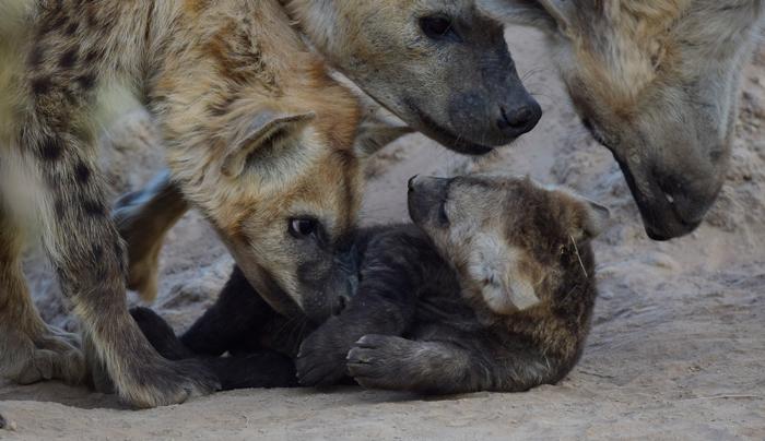 hyenas-with-cub