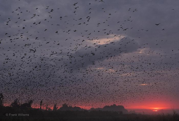 kasanka-bat-migration-sunset