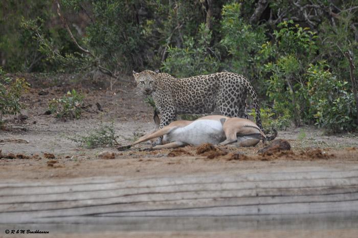 leopard-kill-impala