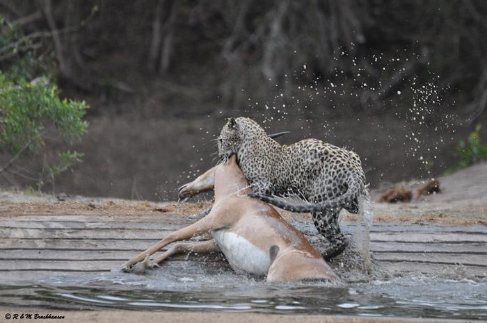 leopard-kills-impala-kruger
