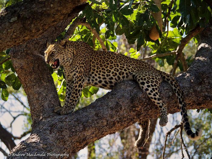 South-Luangwa-National-Park-Zambia-Leopard