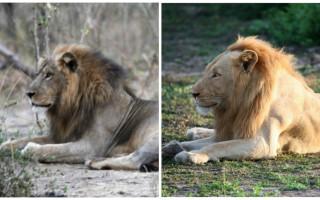 lion-comparison
