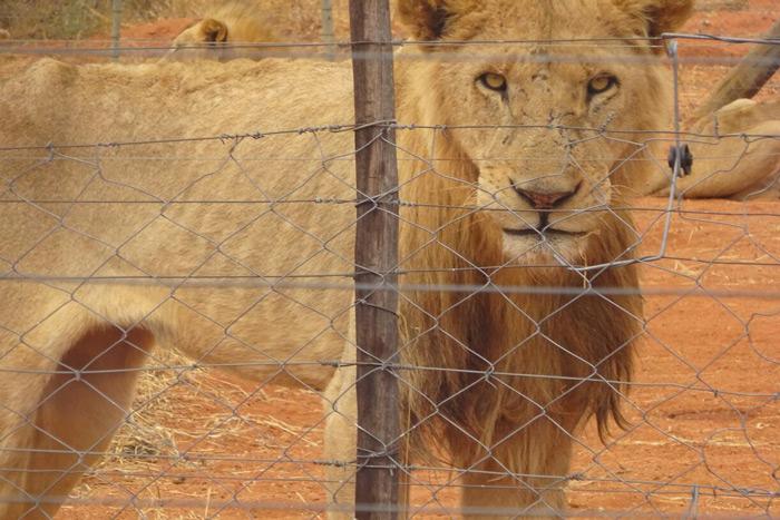 lion-malnourished-alldays