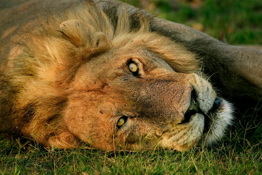 lion-rwanda