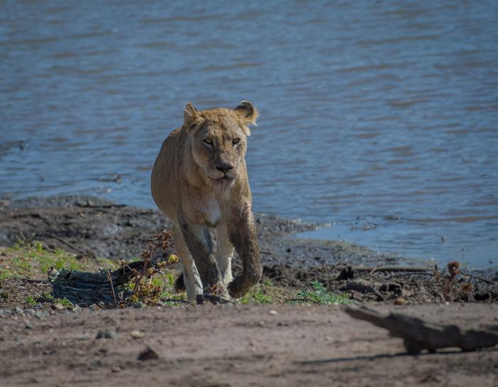 lioness-kruger