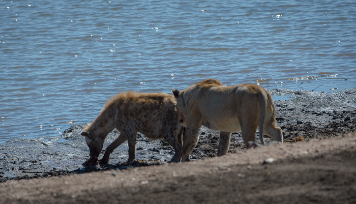 lioness-sneaks-up-on-hyena