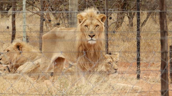 lions-skin-and-bones-alldays