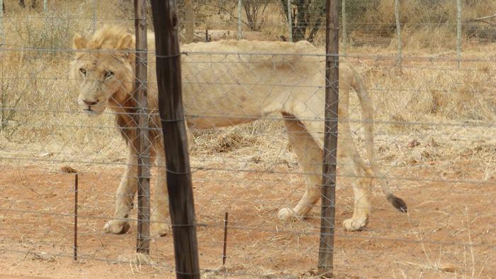 malnourished-lion-alldays