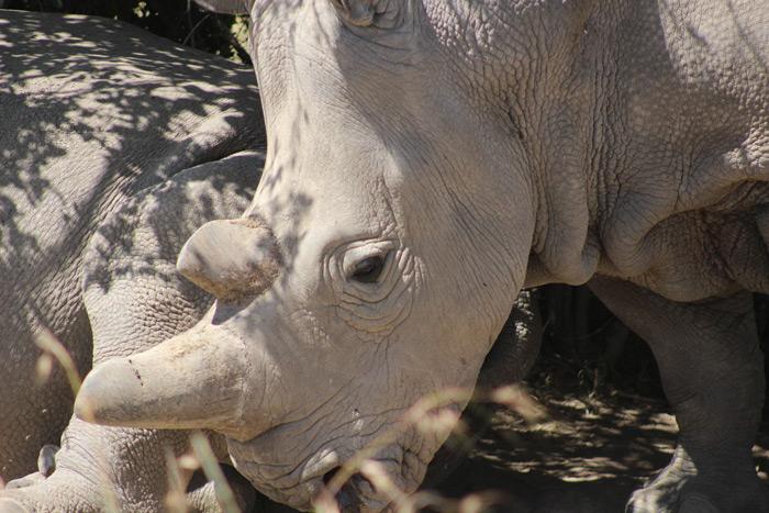 northern-white-rhinos-ol-pejeta