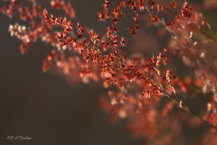 red-Natal-grass-(Melinis-repens)