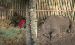 Here Sudan, the last male northern white rhino, is seen, sleeping as close to Ringo, a rescued baby southern white rhino, as possible, through the enclosure