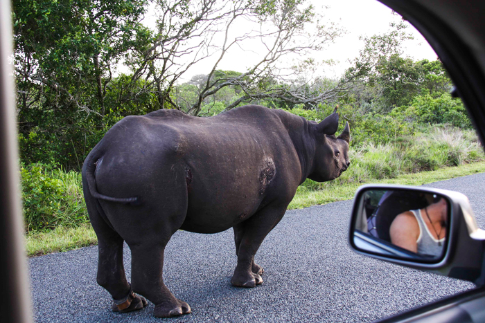 rhino-on-cape-vidal-road