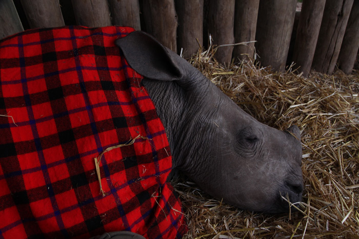 Ringo the rhino has a nap ©Black Bean Productions