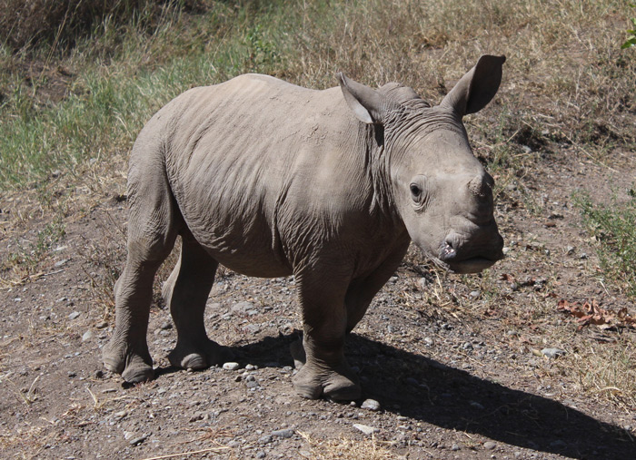 ringo-the-rhino-david-winch