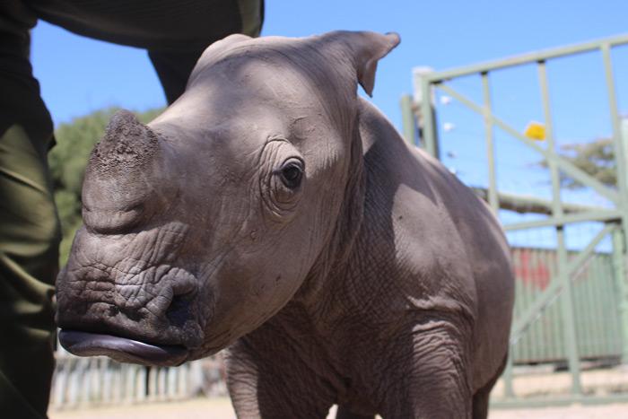 Making friends with Ringo the rhino ©David Winch