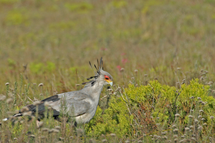 secretary-bird-bontebok-national-park