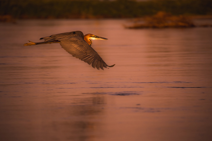 A goliath heron takes flight over the river to look for a better spot to spend the night.