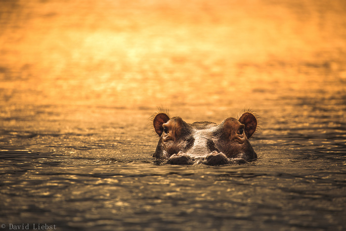 Hippos are just everywhere on the Rufiji River.