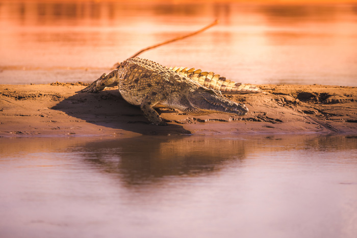 A feisty croc that decided we were getting too close, makes its way into the water. This was a small one, and you can feel somewhat confident when you see one of these flee that crocs are not too bad, or anything that serious to worry about.