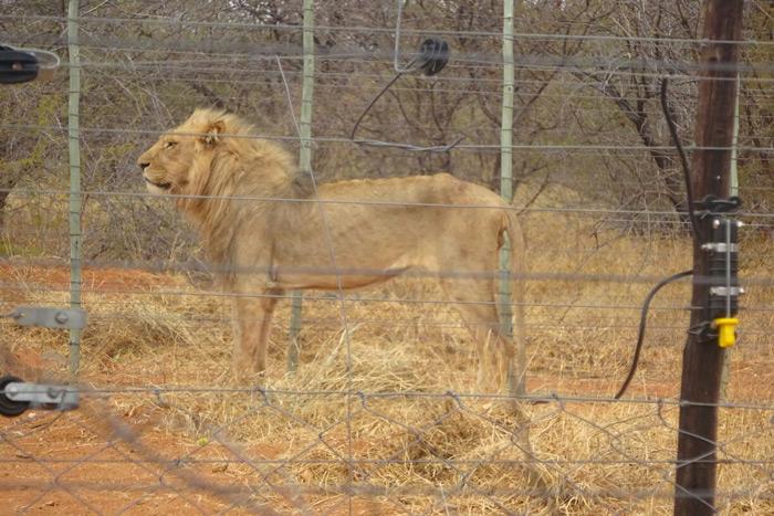 skeletal-lion-alldays