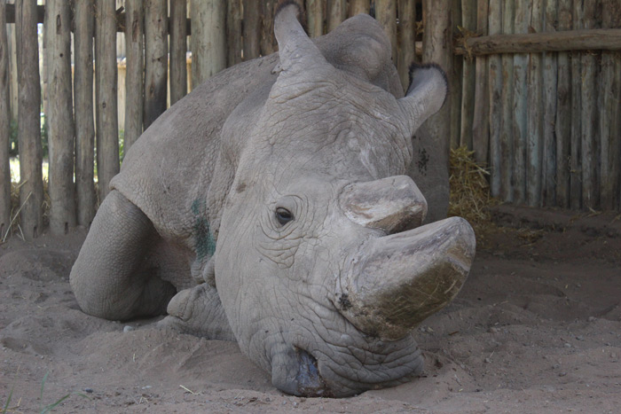 Sudan - the world's oldest northern white rhino ©David Winch