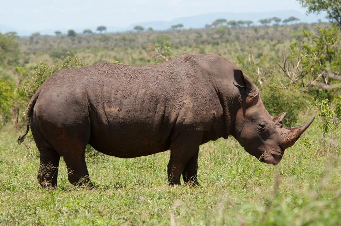 white rhino poaching